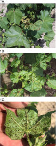Cover photo for Detection of Cotton Leafroll Dwarf Virus (CLRDV) in North Carolina
