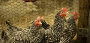 Prestage Dept. of Poultry Science chickens.